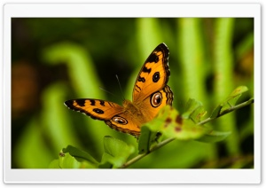 Orange And Black Butterfly HD Wide Wallpaper for Widescreen