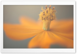 Orange And Yellow Cosmos Flower HD Wide Wallpaper for Widescreen