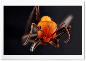 Orange Ant Macro HD Wide Wallpaper for Widescreen