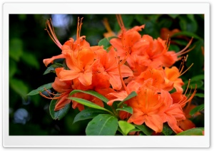 Orange Azaleas Flowers HD Wide Wallpaper for 4K UHD Widescreen desktop & smartphone