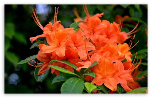 Orange Azaleas Flowers ❤ 4K UHD Wallpaper for Wide 16:10 5:3 Widescreen WHXGA WQXGA WUXGA WXGA WGA ; 4K UHD 16:9 Ultra High Definition 2160p 1440p 1080p 900p 720p ; UHD 16:9 2160p 1440p 1080p 900p 720p ; Standard 4:3 5:4 3:2 Fullscreen UXGA XGA SVGA QSXGA SXGA DVGA HVGA HQVGA ( Apple PowerBook G4 iPhone 4 3G 3GS iPod Touch ) ; Smartphone 5:3 WGA ; iPad 1/2/Mini ; Mobile 4:3 5:3 3:2 16:9 5:4 - UXGA XGA SVGA WGA DVGA HVGA HQVGA ( Apple PowerBook G4 iPhone 4 3G 3GS iPod Touch ) 2160p 1440p 1080p 900p 720p QSXGA SXGA ;