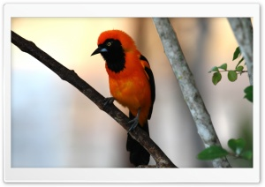 Orange backed Troupial HD Wide Wallpaper for Widescreen