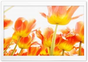 Orange Beautiful Bright Flowers Ultra HD Wallpaper for 4K UHD Widescreen desktop, tablet & smartphone