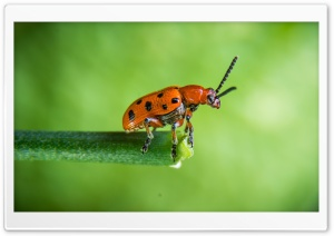 Orange Beetle, Green Background, Macro Ultra HD Wallpaper for 4K UHD Widescreen desktop, tablet & smartphone