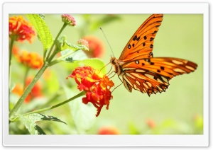 Orange Butterfly HD Wide Wallpaper for 4K UHD Widescreen desktop & smartphone