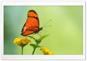 Orange Butterfly HD Wide Wallpaper for Widescreen