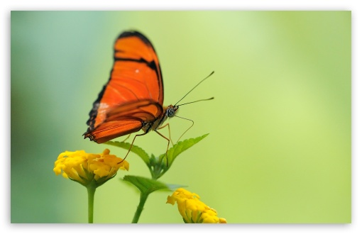 Orange Butterfly HD wallpaper for Wide 16:10 5:3 Widescreen WHXGA WQXGA WUXGA WXGA WGA ; HD 16:9 High Definition WQHD QWXGA 1080p 900p 720p QHD nHD ; Standard 4:3 5:4 3:2 Fullscreen UXGA XGA SVGA QSXGA SXGA DVGA HVGA HQVGA devices ( Apple PowerBook G4 iPhone 4 3G 3GS iPod Touch ) ; Tablet 1:1 ; iPad 1/2/Mini ; Mobile 4:3 5:3 3:2 16:9 5:4 - UXGA XGA SVGA WGA DVGA HVGA HQVGA devices ( Apple PowerBook G4 iPhone 4 3G 3GS iPod Touch ) WQHD QWXGA 1080p 900p 720p QHD nHD QSXGA SXGA ;