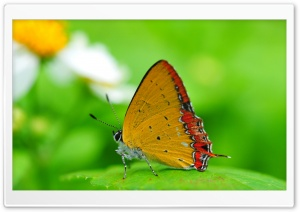 Orange Butterfly on a Leaf HD Wide Wallpaper for Widescreen