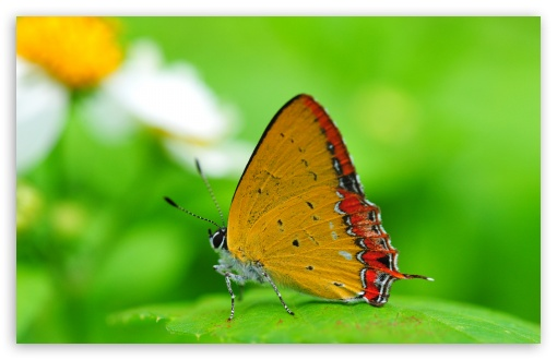 Orange Butterfly on a Leaf HD wallpaper for Wide 16:10 5:3 Widescreen WHXGA WQXGA WUXGA WXGA WGA ; HD 16:9 High Definition WQHD QWXGA 1080p 900p 720p QHD nHD ; Standard 4:3 5:4 Fullscreen UXGA XGA SVGA QSXGA SXGA ; MS 3:2 DVGA HVGA HQVGA devices ( Apple PowerBook G4 iPhone 4 3G 3GS iPod Touch ) ; Mobile VGA WVGA iPhone iPad PSP Phone - VGA QVGA Smartphone ( PocketPC GPS iPod Zune BlackBerry HTC Samsung LG Nokia Eten Asus ) WVGA WQVGA Smartphone ( HTC Samsung Sony Ericsson LG Vertu MIO ) HVGA Smartphone ( Apple iPhone iPod BlackBerry HTC Samsung Nokia ) Sony PSP Zune HD Zen ; Tablet 1&2 Android ;