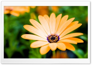Orange Cape Daisy Flower HD Wide Wallpaper for Widescreen