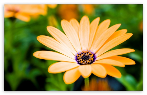 Orange Cape Daisy Flower HD wallpaper for Wide 16:10 5:3 Widescreen WHXGA WQXGA WUXGA WXGA WGA ; HD 16:9 High Definition WQHD QWXGA 1080p 900p 720p QHD nHD ; Standard 4:3 5:4 3:2 Fullscreen UXGA XGA SVGA QSXGA SXGA DVGA HVGA HQVGA devices ( Apple PowerBook G4 iPhone 4 3G 3GS iPod Touch ) ; iPad 1/2/Mini ; Mobile 4:3 5:3 3:2 16:9 5:4 - UXGA XGA SVGA WGA DVGA HVGA HQVGA devices ( Apple PowerBook G4 iPhone 4 3G 3GS iPod Touch ) WQHD QWXGA 1080p 900p 720p QHD nHD QSXGA SXGA ;