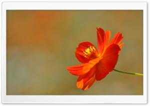 Orange Cosmos Flower Ultra HD Wallpaper for 4K UHD Widescreen desktop, tablet & smartphone