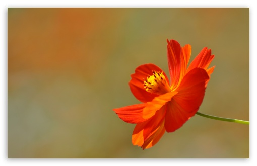 Orange Cosmos Flower ❤ 4K UHD Wallpaper for Wide 16:10 5:3 Widescreen WHXGA WQXGA WUXGA WXGA WGA ; 4K UHD 16:9 Ultra High Definition 2160p 1440p 1080p 900p 720p ; Standard 4:3 5:4 3:2 Fullscreen UXGA XGA SVGA QSXGA SXGA DVGA HVGA HQVGA ( Apple PowerBook G4 iPhone 4 3G 3GS iPod Touch ) ; Tablet 1:1 ; iPad 1/2/Mini ; Mobile 4:3 5:3 3:2 16:9 5:4 - UXGA XGA SVGA WGA DVGA HVGA HQVGA ( Apple PowerBook G4 iPhone 4 3G 3GS iPod Touch ) 2160p 1440p 1080p 900p 720p QSXGA SXGA ; Dual 5:4 QSXGA SXGA ;