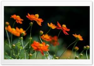 Orange Cosmos Flowers HD Wide Wallpaper for Widescreen
