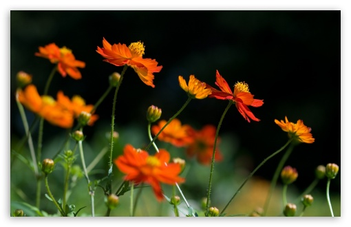 Orange Cosmos Flowers HD wallpaper for Wide 16:10 5:3 Widescreen WHXGA WQXGA WUXGA WXGA WGA ; HD 16:9 High Definition WQHD QWXGA 1080p 900p 720p QHD nHD ; Standard 4:3 5:4 3:2 Fullscreen UXGA XGA SVGA QSXGA SXGA DVGA HVGA HQVGA devices ( Apple PowerBook G4 iPhone 4 3G 3GS iPod Touch ) ; Tablet 1:1 ; iPad 1/2/Mini ; Mobile 4:3 5:3 3:2 16:9 5:4 - UXGA XGA SVGA WGA DVGA HVGA HQVGA devices ( Apple PowerBook G4 iPhone 4 3G 3GS iPod Touch ) WQHD QWXGA 1080p 900p 720p QHD nHD QSXGA SXGA ;