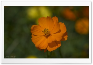 Orange Cosmos Flowers Ultra HD Wallpaper for 4K UHD Widescreen desktop, tablet & smartphone