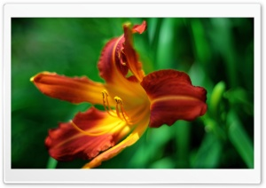 Orange Day lily Flower HD Wide Wallpaper for Widescreen