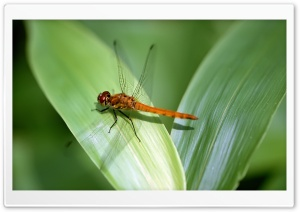 Orange Dragonfly HD Wide Wallpaper for Widescreen