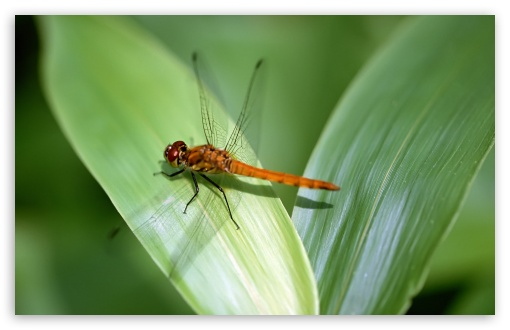 Orange Dragonfly HD wallpaper for Wide 16:10 5:3 Widescreen WHXGA WQXGA WUXGA WXGA WGA ; HD 16:9 High Definition WQHD QWXGA 1080p 900p 720p QHD nHD ; Standard 4:3 5:4 3:2 Fullscreen UXGA XGA SVGA QSXGA SXGA DVGA HVGA HQVGA devices ( Apple PowerBook G4 iPhone 4 3G 3GS iPod Touch ) ; Tablet 1:1 ; iPad 1/2/Mini ; Mobile 4:3 5:3 3:2 16:9 5:4 - UXGA XGA SVGA WGA DVGA HVGA HQVGA devices ( Apple PowerBook G4 iPhone 4 3G 3GS iPod Touch ) WQHD QWXGA 1080p 900p 720p QHD nHD QSXGA SXGA ;