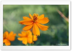 Orange Flower HD Wide Wallpaper for 4K UHD Widescreen desktop & smartphone