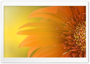 Orange Flower HD Wide Wallpaper for 4K UHD Widescreen desktop & smartphone