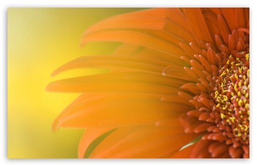 Orange Flower UltraHD Wallpaper for Wide 16:10 5:3 Widescreen WHXGA WQXGA WUXGA WXGA WGA ; 8K UHD TV 16:9 Ultra High Definition 2160p 1440p 1080p 900p 720p ; Standard 4:3 5:4 3:2 Fullscreen UXGA XGA SVGA QSXGA SXGA DVGA HVGA HQVGA ( Apple PowerBook G4 iPhone 4 3G 3GS iPod Touch ) ; iPad 1/2/Mini ; Mobile 4:3 5:3 3:2 16:9 5:4 - UXGA XGA SVGA WGA DVGA HVGA HQVGA ( Apple PowerBook G4 iPhone 4 3G 3GS iPod Touch ) 2160p 1440p 1080p 900p 720p QSXGA SXGA ;