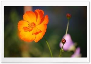 Orange Flower Ultra HD Wallpaper for 4K UHD Widescreen desktop, tablet & smartphone