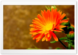 Orange Flower HD Wide Wallpaper for Widescreen