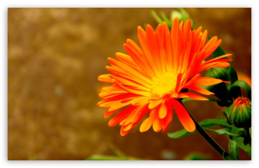 Orange Flower HD wallpaper for Wide 16:10 5:3 Widescreen WHXGA WQXGA WUXGA WXGA WGA ; HD 16:9 High Definition WQHD QWXGA 1080p 900p 720p QHD nHD ; UHD 16:9 WQHD QWXGA 1080p 900p 720p QHD nHD ; Standard 4:3 5:4 3:2 Fullscreen UXGA XGA SVGA QSXGA SXGA DVGA HVGA HQVGA devices ( Apple PowerBook G4 iPhone 4 3G 3GS iPod Touch ) ; Tablet 1:1 ; iPad 1/2/Mini ; Mobile 4:3 5:3 3:2 16:9 5:4 - UXGA XGA SVGA WGA DVGA HVGA HQVGA devices ( Apple PowerBook G4 iPhone 4 3G 3GS iPod Touch ) WQHD QWXGA 1080p 900p 720p QHD nHD QSXGA SXGA ;