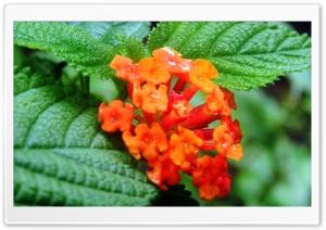 Orange Flower HD Wide Wallpaper for Widescreen
