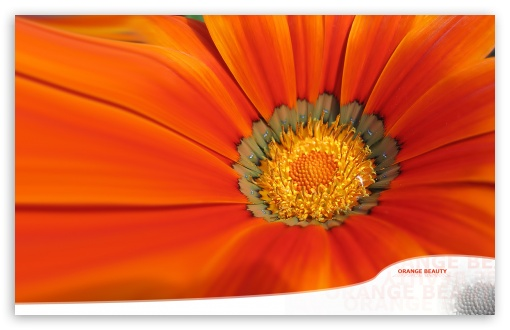 Orange Flower Dualscreen HD wallpaper for Standard 4:3 5:4 Fullscreen UXGA XGA SVGA QSXGA SXGA ; Wide 16:10 5:3 Widescreen WHXGA WQXGA WUXGA WXGA WGA ; HD 16:9 High Definition WQHD QWXGA 1080p 900p 720p QHD nHD ; Other 3:2 DVGA HVGA HQVGA devices ( Apple PowerBook G4 iPhone 4 3G 3GS iPod Touch ) ; Mobile VGA WVGA iPhone iPad PSP Phone - VGA QVGA Smartphone ( PocketPC GPS iPod Zune BlackBerry HTC Samsung LG Nokia Eten Asus ) WVGA WQVGA Smartphone ( HTC Samsung Sony Ericsson LG Vertu MIO ) HVGA Smartphone ( Apple iPhone iPod BlackBerry HTC Samsung Nokia ) Sony PSP Zune HD Zen ; Tablet 2 ; Dual 4:3 5:4 UXGA XGA SVGA QSXGA SXGA ;