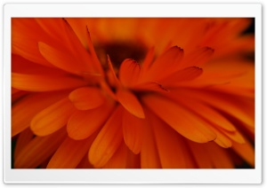 Orange Flower Focus HD Wide Wallpaper for Widescreen