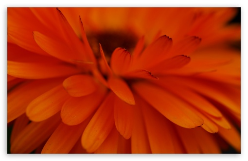 Orange Flower Focus HD wallpaper for Wide 16:10 5:3 Widescreen WHXGA WQXGA WUXGA WXGA WGA ; HD 16:9 High Definition WQHD QWXGA 1080p 900p 720p QHD nHD ; UHD 16:9 WQHD QWXGA 1080p 900p 720p QHD nHD ; Standard 4:3 5:4 3:2 Fullscreen UXGA XGA SVGA QSXGA SXGA DVGA HVGA HQVGA devices ( Apple PowerBook G4 iPhone 4 3G 3GS iPod Touch ) ; Smartphone 5:3 WGA ; Tablet 1:1 ; iPad 1/2/Mini ; Mobile 4:3 5:3 3:2 16:9 5:4 - UXGA XGA SVGA WGA DVGA HVGA HQVGA devices ( Apple PowerBook G4 iPhone 4 3G 3GS iPod Touch ) WQHD QWXGA 1080p 900p 720p QHD nHD QSXGA SXGA ;
