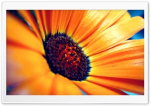 Orange Flower Macro HD Wide Wallpaper for Widescreen