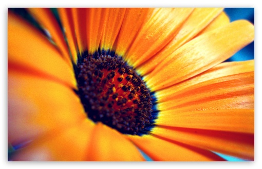 Orange Flower Macro UltraHD Wallpaper for Wide 16:10 5:3 Widescreen WHXGA WQXGA WUXGA WXGA WGA ; 8K UHD TV 16:9 Ultra High Definition 2160p 1440p 1080p 900p 720p ; Standard 3:2 Fullscreen DVGA HVGA HQVGA ( Apple PowerBook G4 iPhone 4 3G 3GS iPod Touch ) ; Mobile 5:3 3:2 16:9 - WGA DVGA HVGA HQVGA ( Apple PowerBook G4 iPhone 4 3G 3GS iPod Touch ) 2160p 1440p 1080p 900p 720p ;