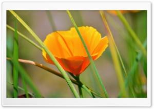 Orange Flower With Reeds Ultra HD Wallpaper for 4K UHD Widescreen desktop, tablet & smartphone