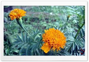 Orange Flowers Ultra HD Wallpaper for 4K UHD Widescreen desktop, tablet & smartphone