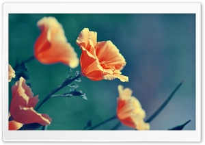 Orange Flowers HD Wide Wallpaper for Widescreen