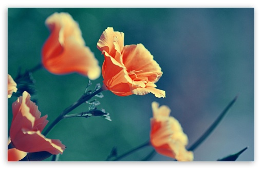 Orange Flowers ❤ 4K UHD Wallpaper for Wide 16:10 5:3 Widescreen WHXGA WQXGA WUXGA WXGA WGA ; 4K UHD 16:9 Ultra High Definition 2160p 1440p 1080p 900p 720p ; Standard 4:3 5:4 3:2 Fullscreen UXGA XGA SVGA QSXGA SXGA DVGA HVGA HQVGA ( Apple PowerBook G4 iPhone 4 3G 3GS iPod Touch ) ; Tablet 1:1 ; iPad 1/2/Mini ; Mobile 4:3 5:3 3:2 16:9 5:4 - UXGA XGA SVGA WGA DVGA HVGA HQVGA ( Apple PowerBook G4 iPhone 4 3G 3GS iPod Touch ) 2160p 1440p 1080p 900p 720p QSXGA SXGA ; Dual 4:3 5:4 UXGA XGA SVGA QSXGA SXGA ;