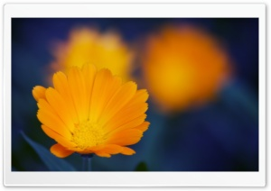 Orange Flowers Close-up HD Wide Wallpaper for Widescreen