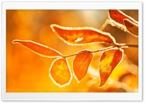 Orange Frost Covered Leaves, Macro, Fall Ultra HD Wallpaper for 4K UHD Widescreen desktop, tablet & smartphone