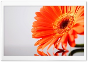 Orange Gerbera HD Wide Wallpaper for Widescreen
