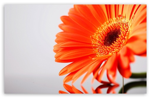Orange Gerbera HD wallpaper for Wide 16:10 5:3 Widescreen WHXGA WQXGA WUXGA WXGA WGA ; HD 16:9 High Definition WQHD QWXGA 1080p 900p 720p QHD nHD ; Standard 4:3 5:4 3:2 Fullscreen UXGA XGA SVGA QSXGA SXGA DVGA HVGA HQVGA devices ( Apple PowerBook G4 iPhone 4 3G 3GS iPod Touch ) ; Tablet 1:1 ; iPad 1/2/Mini ; Mobile 4:3 5:3 3:2 16:9 5:4 - UXGA XGA SVGA WGA DVGA HVGA HQVGA devices ( Apple PowerBook G4 iPhone 4 3G 3GS iPod Touch ) WQHD QWXGA 1080p 900p 720p QHD nHD QSXGA SXGA ;