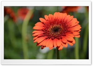 Orange Gerbera HD Wide Wallpaper for 4K UHD Widescreen desktop & smartphone