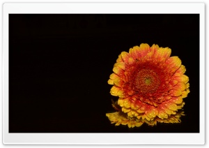 Orange Gerbera Daisy HD Wide Wallpaper for Widescreen