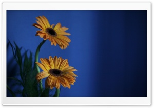 Orange Gerbera Flowers, Blue Background HD Wide Wallpaper for Widescreen