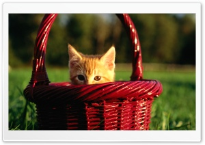 Orange Kitten In Basket HD Wide Wallpaper for 4K UHD Widescreen desktop & smartphone