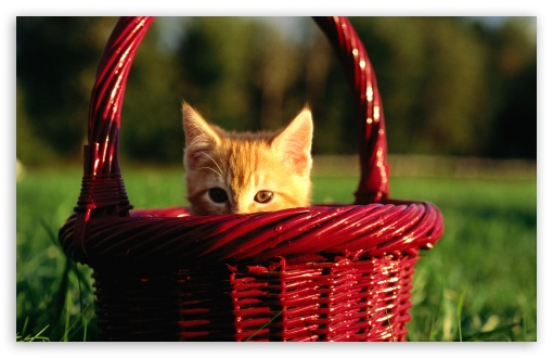 Orange Kitten In Basket HD wallpaper for Wide 16:10 5:3 Widescreen WHXGA WQXGA WUXGA WXGA WGA ; HD 16:9 High Definition WQHD QWXGA 1080p 900p 720p QHD nHD ; Standard 4:3 5:4 3:2 Fullscreen UXGA XGA SVGA QSXGA SXGA DVGA HVGA HQVGA devices ( Apple PowerBook G4 iPhone 4 3G 3GS iPod Touch ) ; iPad 1/2/Mini ; Mobile 4:3 5:3 3:2 16:9 5:4 - UXGA XGA SVGA WGA DVGA HVGA HQVGA devices ( Apple PowerBook G4 iPhone 4 3G 3GS iPod Touch ) WQHD QWXGA 1080p 900p 720p QHD nHD QSXGA SXGA ;