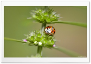 Orange Ladybug HD Wide Wallpaper for Widescreen