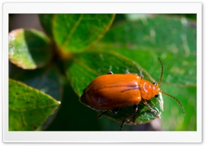 Orange Leaf Beetle HD Wide Wallpaper for Widescreen